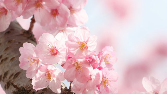"""東京都北区の区の木""""桜(さくら)"""""""