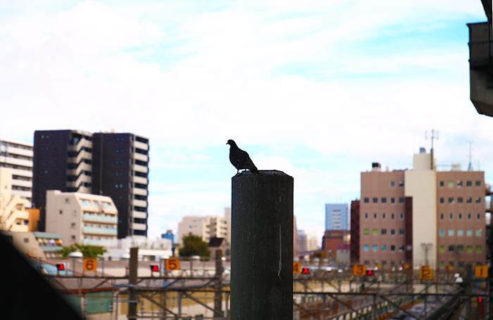 北区JR東十条駅の鳩