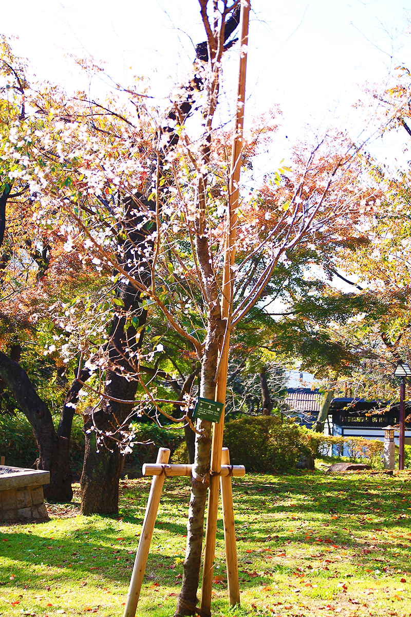 飛鳥山の10月桜