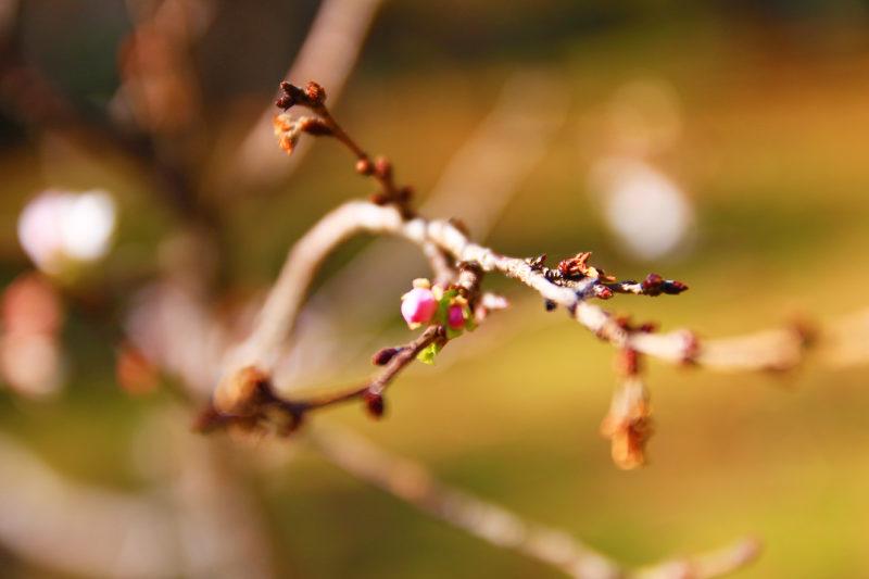 飛鳥山の十月桜