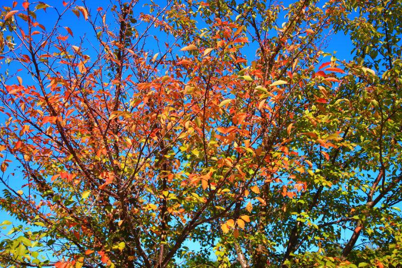 赤羽の荒川土手の紅葉