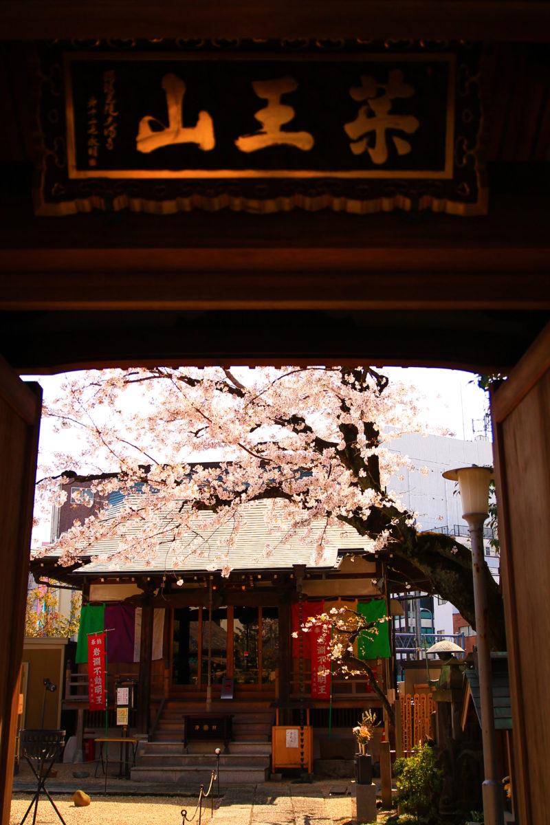 大満寺 桜