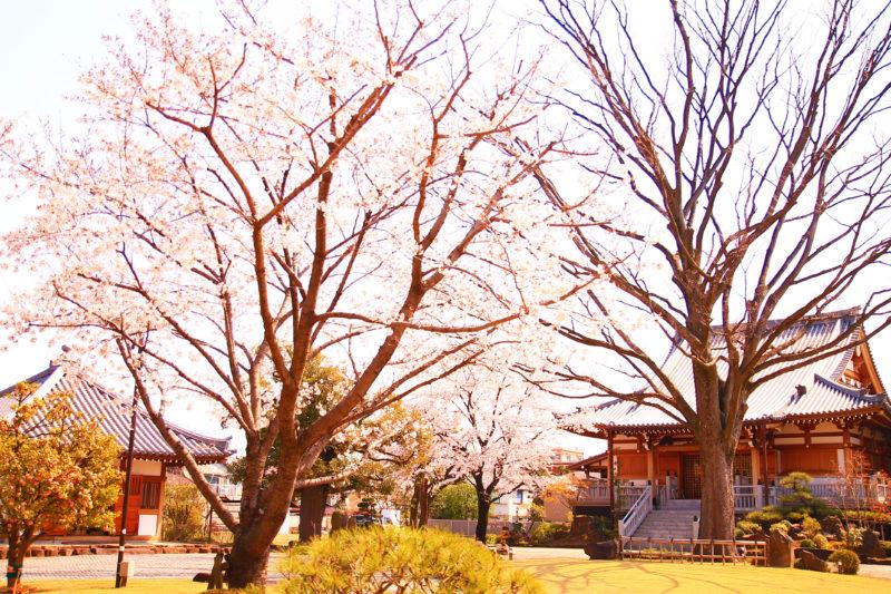 正光寺 桜