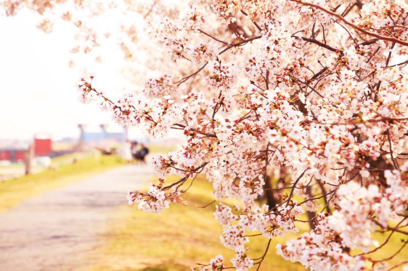 旧岩淵水門 桜