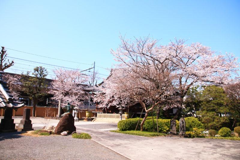宝憧院 桜