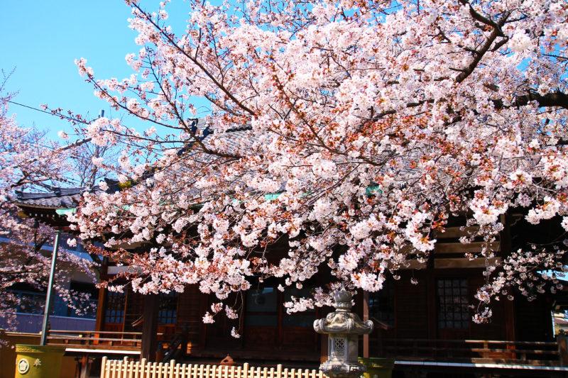 宝幢院 桜