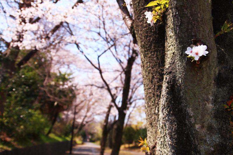 赤羽緑道公園 桜