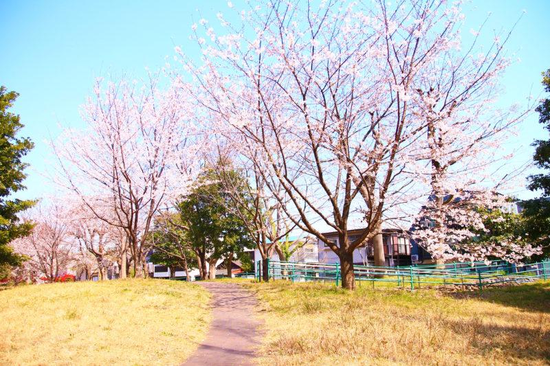 赤羽台さくら並木公園 桜