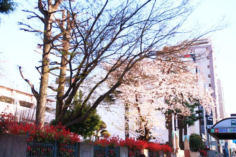 赤羽カトリック教会 桜