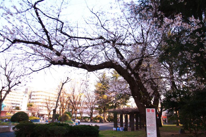 赤羽公園 桜