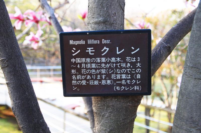 清水坂公園 シモクレン