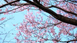 飛鳥山の開花状況