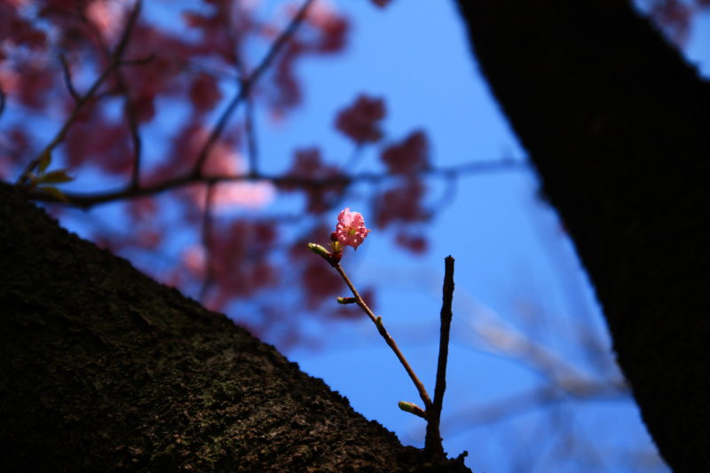 飛鳥山の桜の蕾