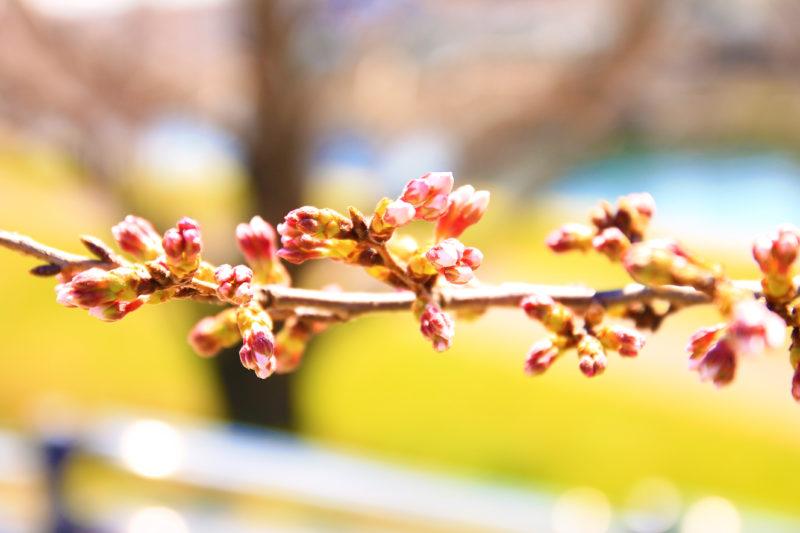 岩淵水門付近 開花状況