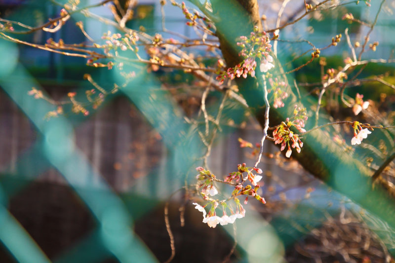 石神井川 かなざわ橋付近の桜