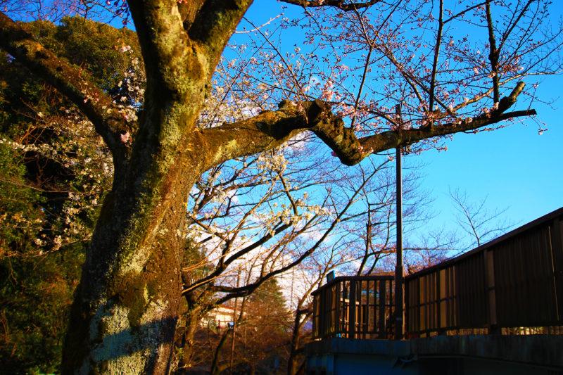 石神井川 桜の開花状況