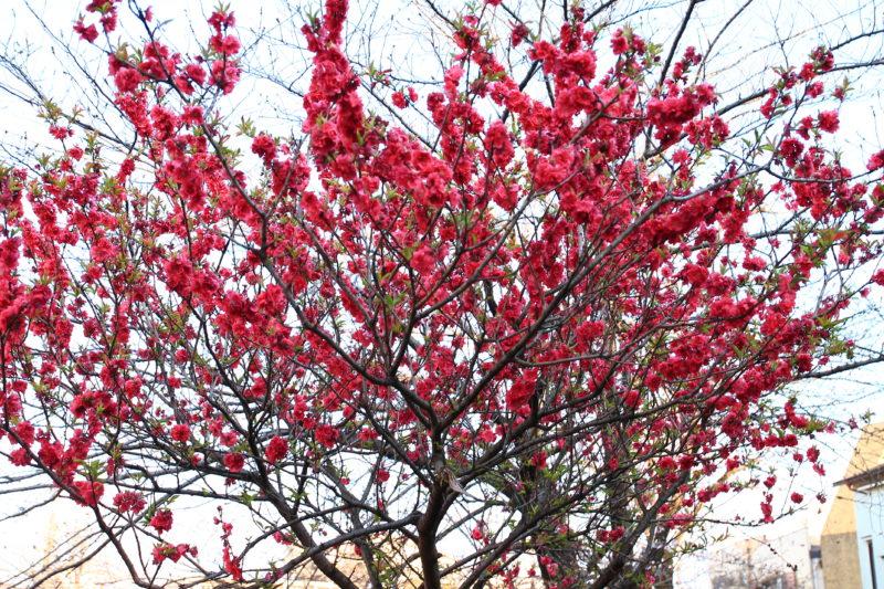 石神井川付近の花