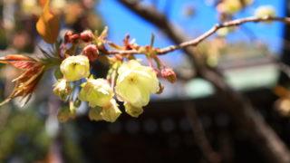 七社神社 御衣黄(八重桜)