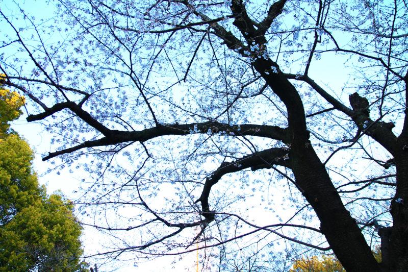 音無親水公園 桜