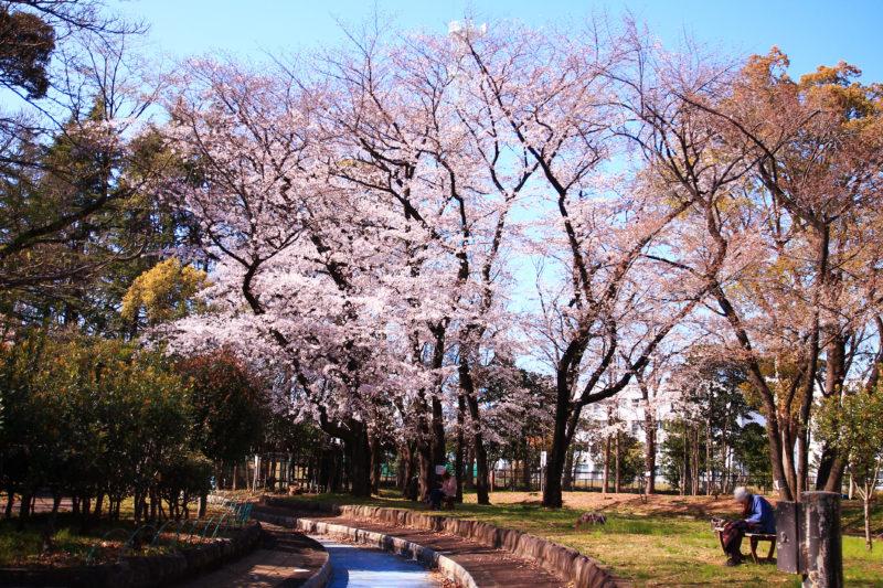 北区中央公園 桜