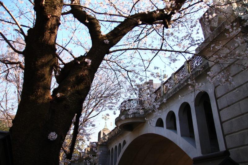 王子 音無親水公園の桜