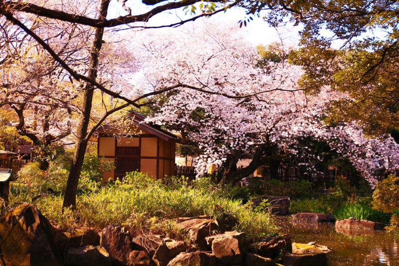 名主の滝公園 桜