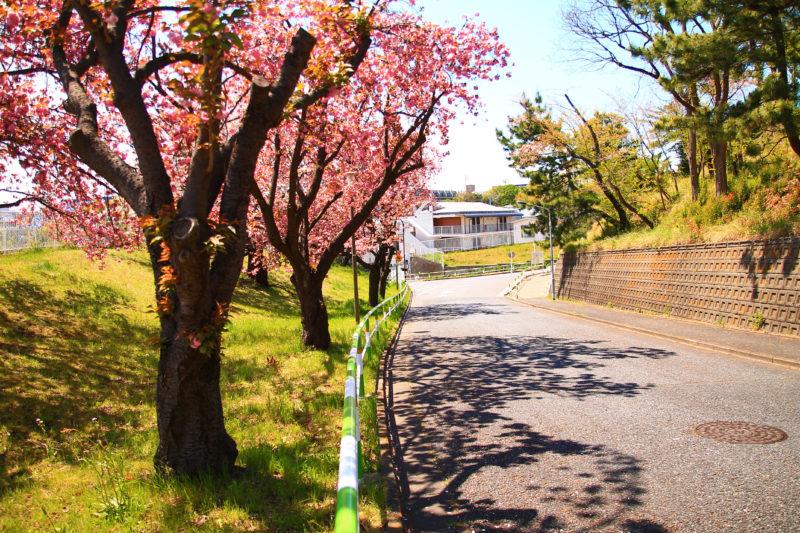 赤羽台 桜