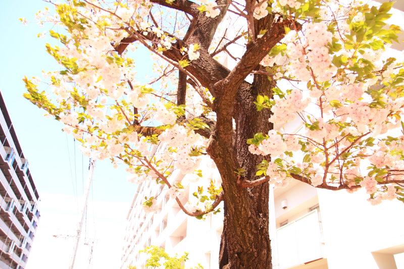 赤羽台団地 桜
