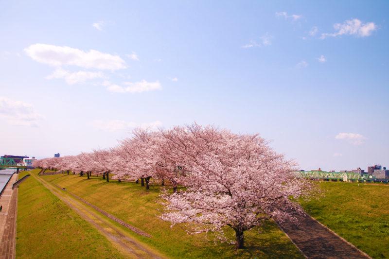荒川赤羽桜堤緑地の桜
