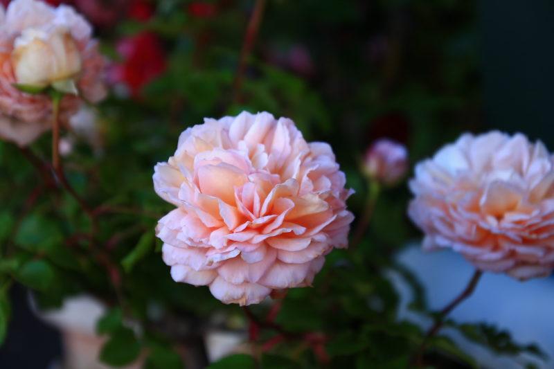 エリーズカフェ 薔薇