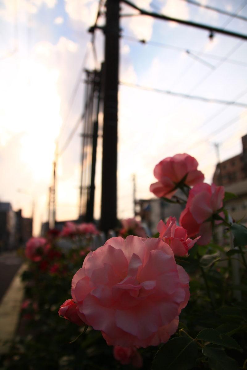 都電荒川線 薔薇