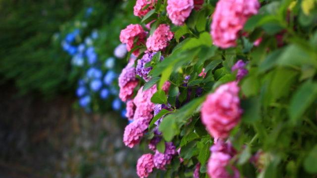王子 飛鳥山 紫陽花