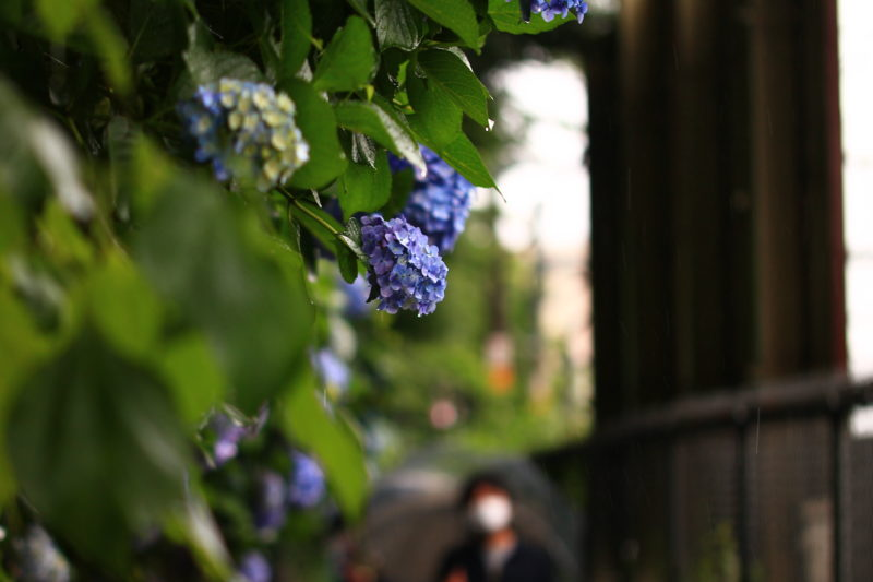 雨の紫陽花の道