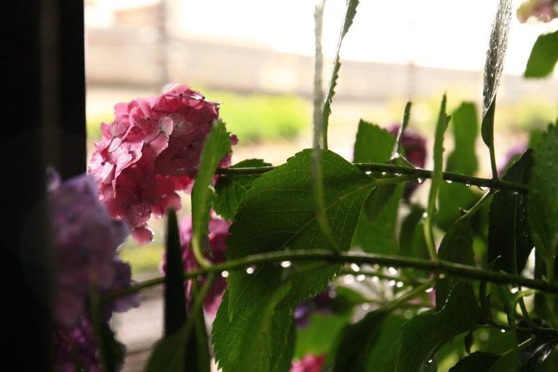 雨にしたたる紫陽花