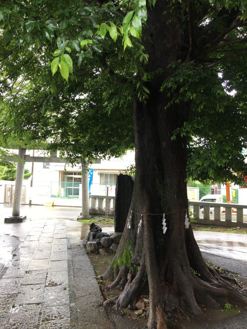 瀧野川八幡神社 御神木