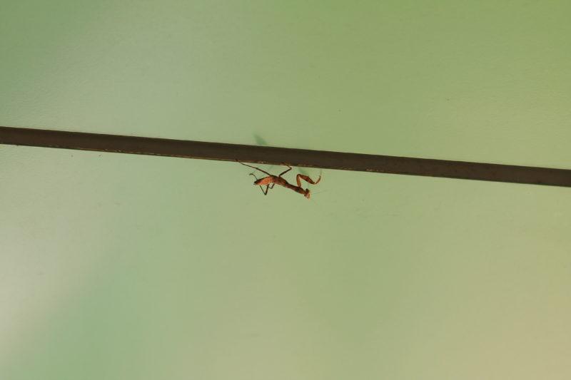 飛鳥山 カマキリ