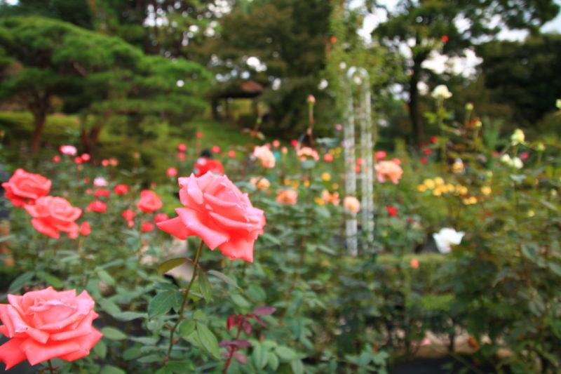旧古河庭園 バラ