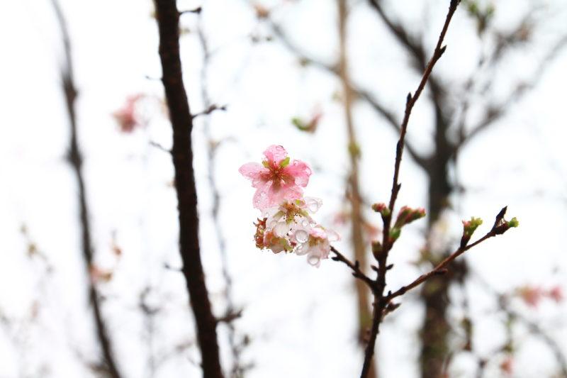 飛鳥山10月桜