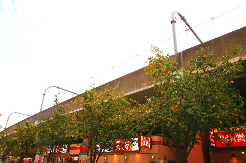 赤羽東口京浜通り商店街の街路樹 カリン