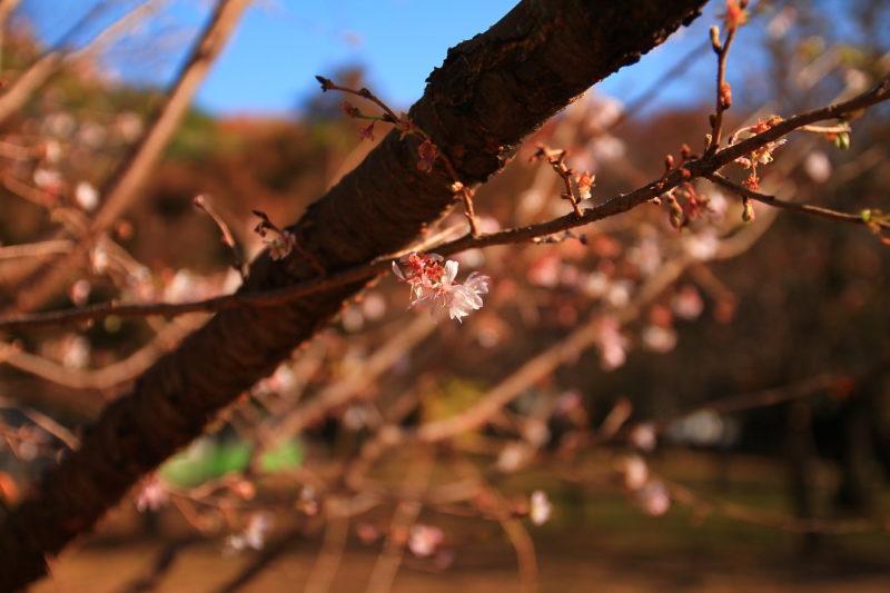飛鳥山 十月桜