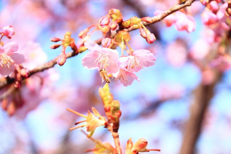 西ヶ原みんなの公園 河津桜