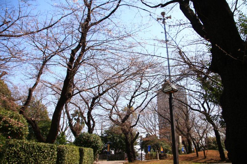 飛鳥山 桜