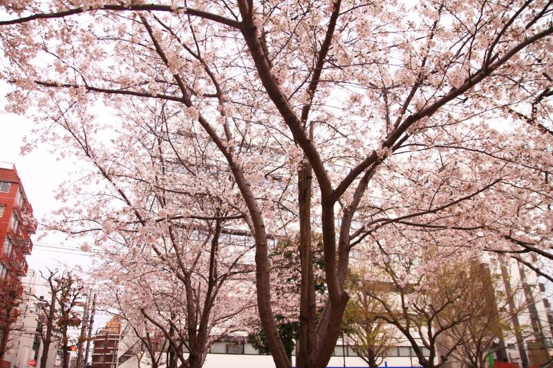 飛鳥山 桜 開花状況