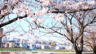 赤羽 荒川土手 桜