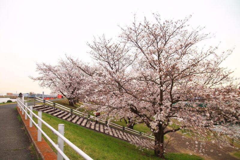 荒川土手 桜
