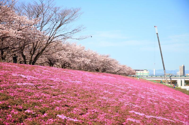 新荒川大橋緑地 芝桜
