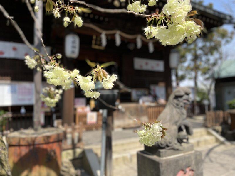 御衣黄 七社神社