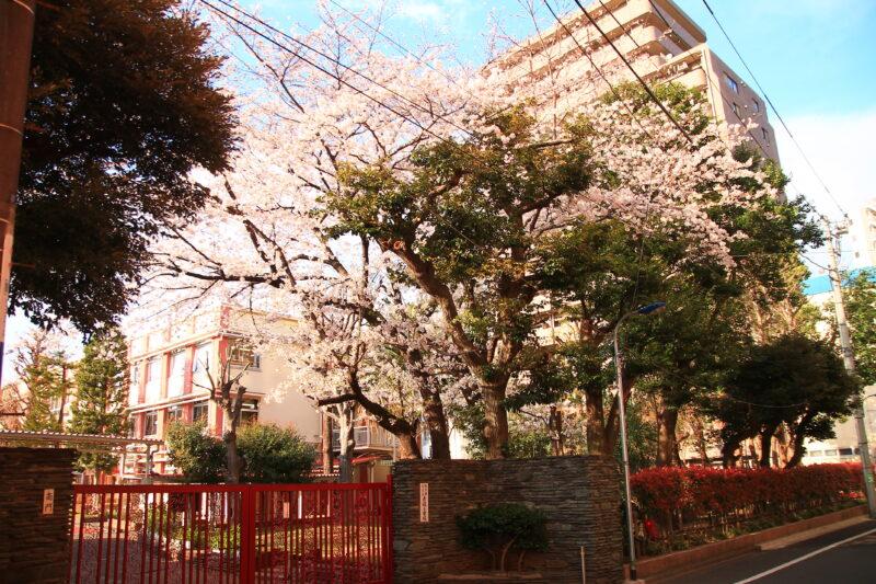 赤羽小学校 桜