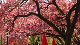 飛鳥山 八重桜