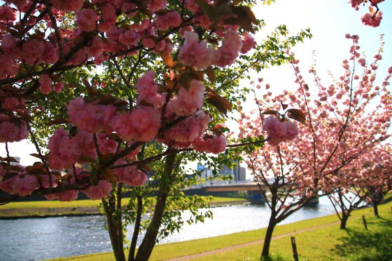 荒川 八重桜